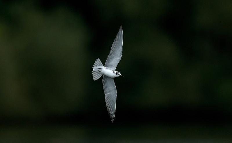 American Black Tern 2, Eccleston Mere, August 2012