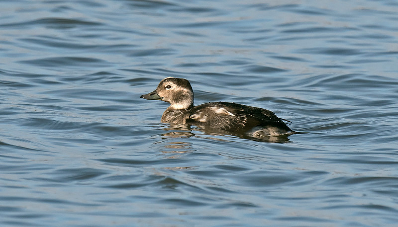Long-tailed Duck Seaforth Oct 2017
