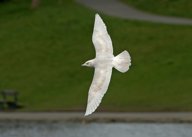 Iceland Gull 4 Sefton Park Liverpool April 2019