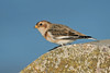 Snow Bunting 2 Wallasey October 2013