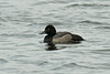 Lesser Scaup 1 Pennington Flash Sept 2013