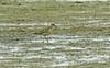 Buff-breasted Sandpiper Burton Mere RSPB 20-5-17