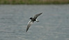 Black Tern 2 Seaforth 1-5-17