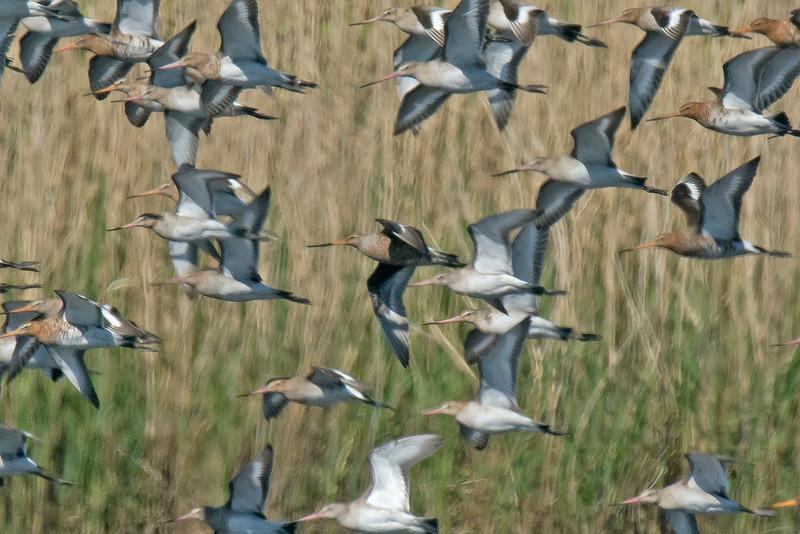 Hudsonian Godwit  record shot 3 Meare Heath Somerset April 2015