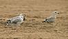Caspian Gull 1st summer with Herring Gull Ainsdale Lancashire 18-8-2015
