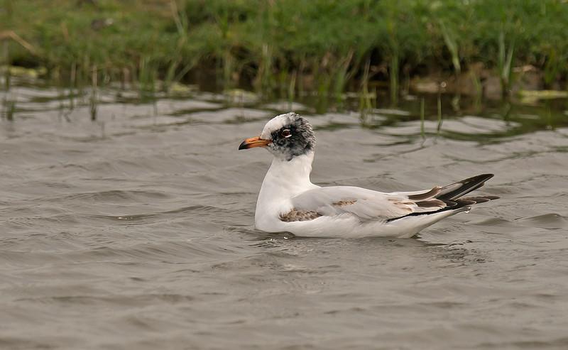 Mediterranean Gull 1st summer b Marshside RSPB May 2016