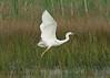 Great White Egret 2 Burton Mere RSPB 20-5-17