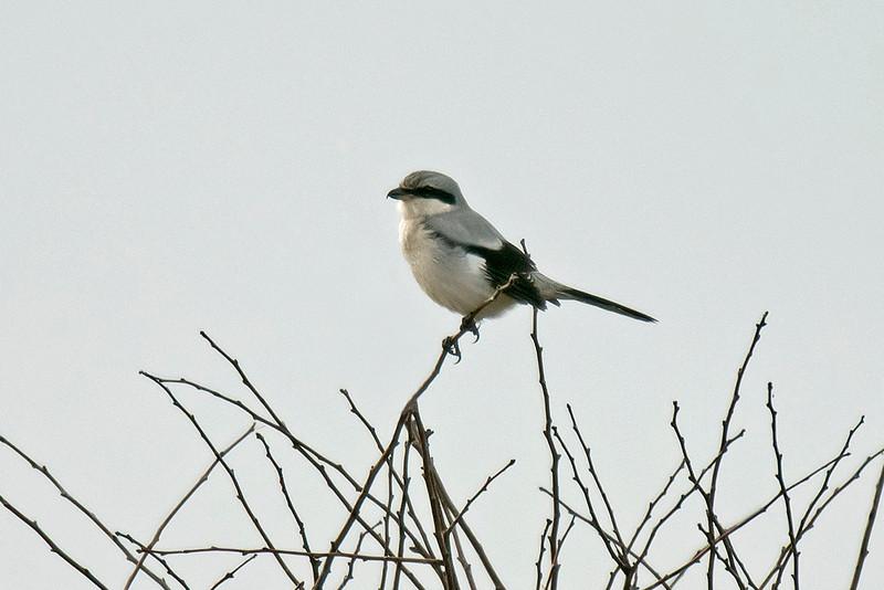 Great Grey Shrike Formby 11-2014