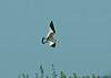 Sabine's Gull 3 - Hale, Cheshire