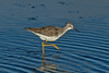 Lesser Yellowlegs 3, Aldciff, Lancs, October 2012