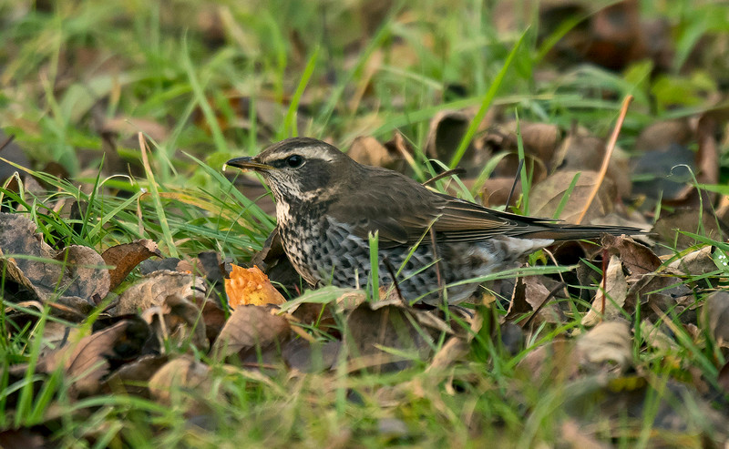 Dusky Thrush 3 Beeley Derbyshire