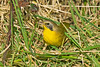 Common Yellowthroat , Rhiwderyn, Feb 2012