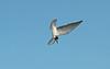 Black Tern juv 2 Seaforth 29-8-15