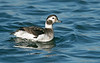 Long-tailed Duck 1 Crosby 5-11-20