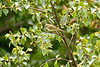 Greenish Warbler, Turton Golf Club, Lancashire , June 2013