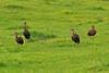 Glossy Ibis 1 Doffcocker Lodge
