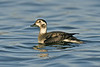 Long-tailed Duck, Seaforth Nov 2012