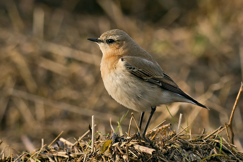 Wheatear Burton Marsh 31-12-2013 - I know, It's not really rare....but it is on December 31st! :-)