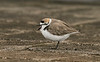 Kentish Plover 3 Audenshaw Res 4-16