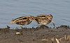 Jack Snipe b Lower Moors