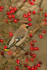 Waxwing 1Seaforth Station, Merseyside Dec 2012