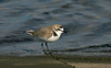 Kentish Plover 1 Audenshaw Res 4-16