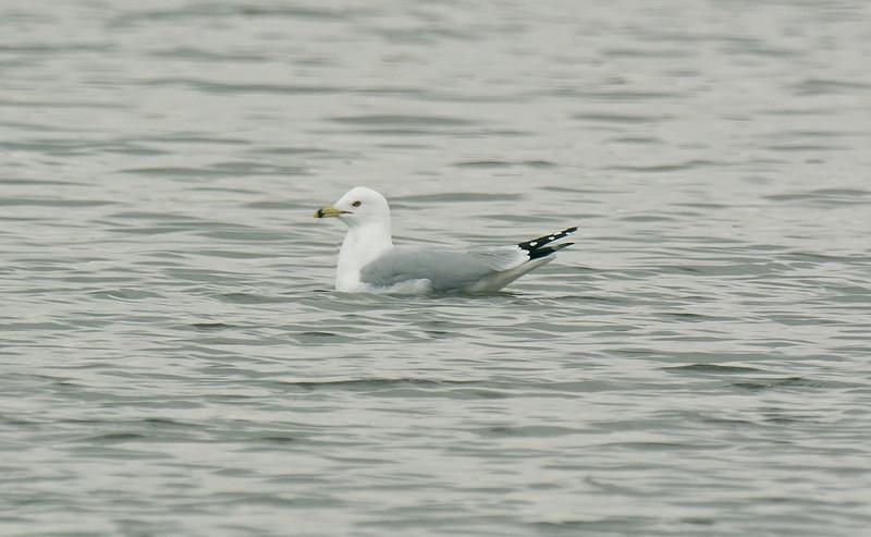 Ring-billed Gull, Seaforth 31-3-2012
