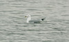 Ring-billed Gull, Seaforth 31-3-2012