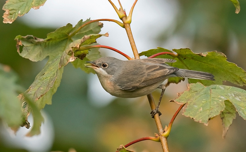 Western Subalpine Warbler a Hugh Town St Mary's