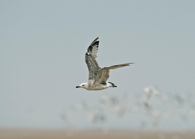 Caspian Gull 1st summer 3 Ainsdale Lancashire 18-8-2015