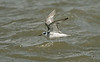 Grey Phalarope 2 adult winter New Brighton, Wirral Sept 2017