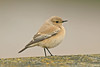 Desert Wheatear 1 Rhyl, November 2012