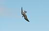 Black Tern juv 3 Seaforth 29-8-15
