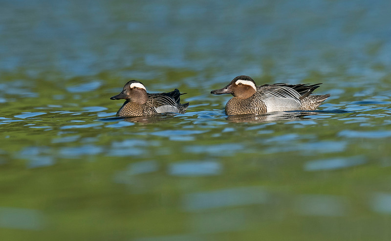 Garganey 1 Sefton Park May 16th