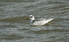 Grey Phalarope adult winter New Brighton, Wirral Sept 2017