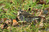 Dusky Thrush 9 Beeley