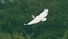 Great White Egret Burton Mere RSPB 20-5-17