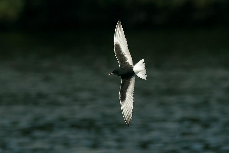 White-winged Black Tern 1 Seaforth 18-6-14