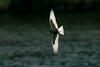 White-winged Black Tern 1 Seaforth 18-6-14