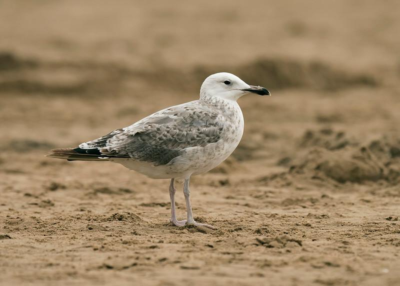 Caspian Gull 1st summer 1 Ainsdale Lancashire 18-8-2015