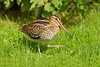 Great Snipe 4 Spurn September 2013