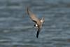Black Tern juv c Seaforth 29-8-2015