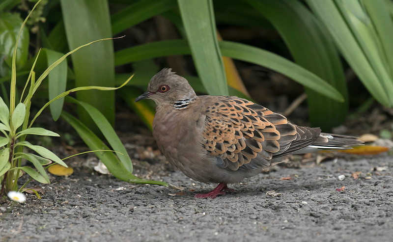 Turtle Dove Hugh Town St Mary's