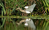 Squacco Heron 2 Gronant Sept 2021