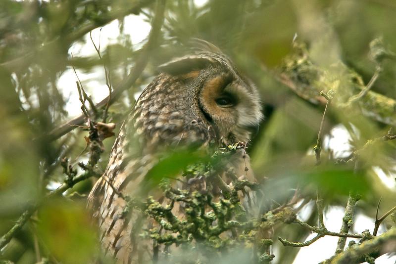 Long-eared Owl Burton Marsh RSPB Feb 2015