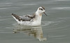 Grey Phalarope 1 Crosby 22-9-18