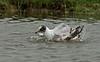 Mediterranean Gull 1st summer Marshside RSPB May 2016