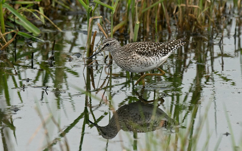 Wood Sandpiper 2 Lunt NR  Lancs May 2017