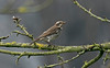 Dusky Thrush 1 Beeley Derbyshire