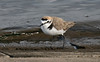 Kentish Plover 2 Audenshaw Res 4-16